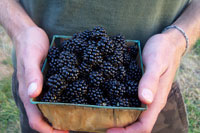 Postharvest handling of blackberries and raspberries is an important step to overall food safety and product quality.