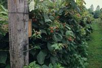 Trellising blackberries and raspberries