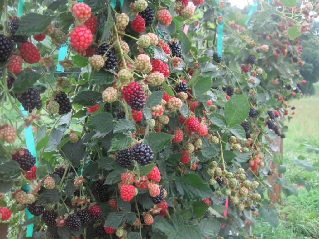 Von blackberry