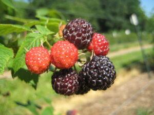 blackberry cluster
